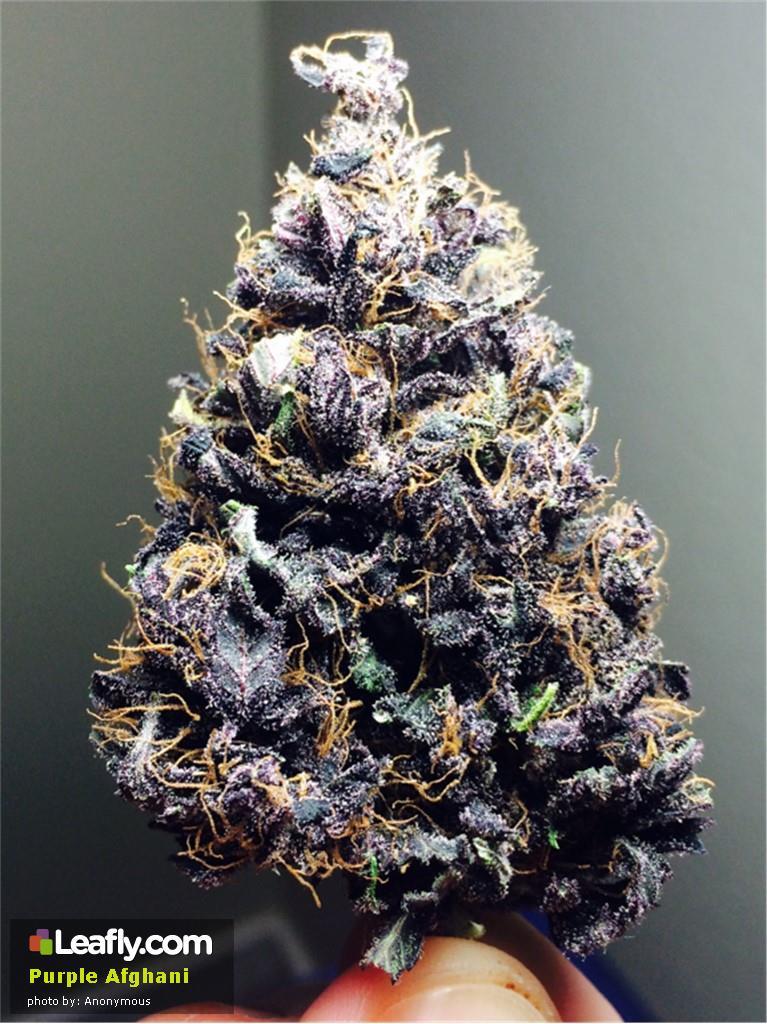 purple-afghani__primary_1d75