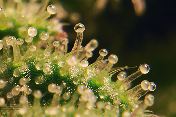 Trichomes-are-milky-white-