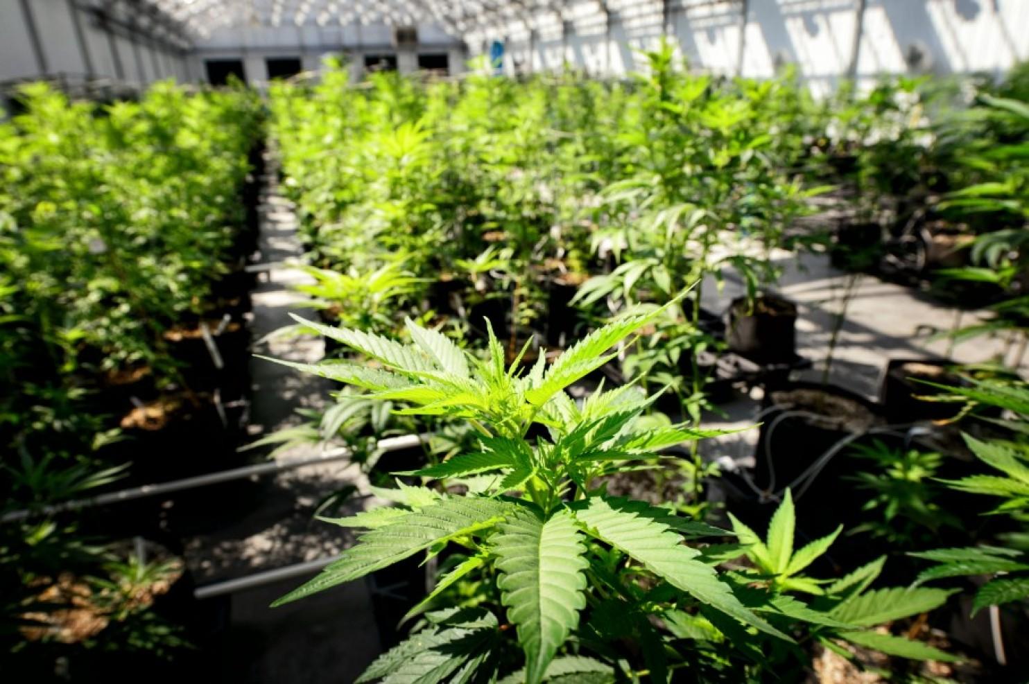 MPF pede liberação de uso e plantio de maconha para fins medicinais