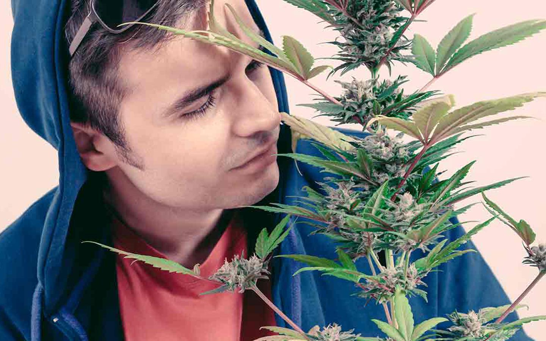 Pesquisadores estudam o aroma da cannabis