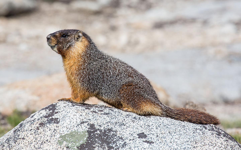 Sistema endocanabinoide participa do processo de hibernação de marmotas