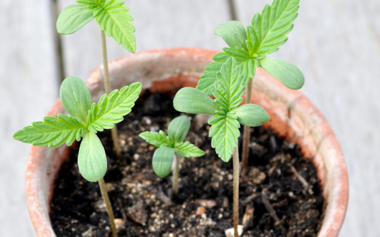 Governo do Canadá defende cultivo caseiro de maconha
