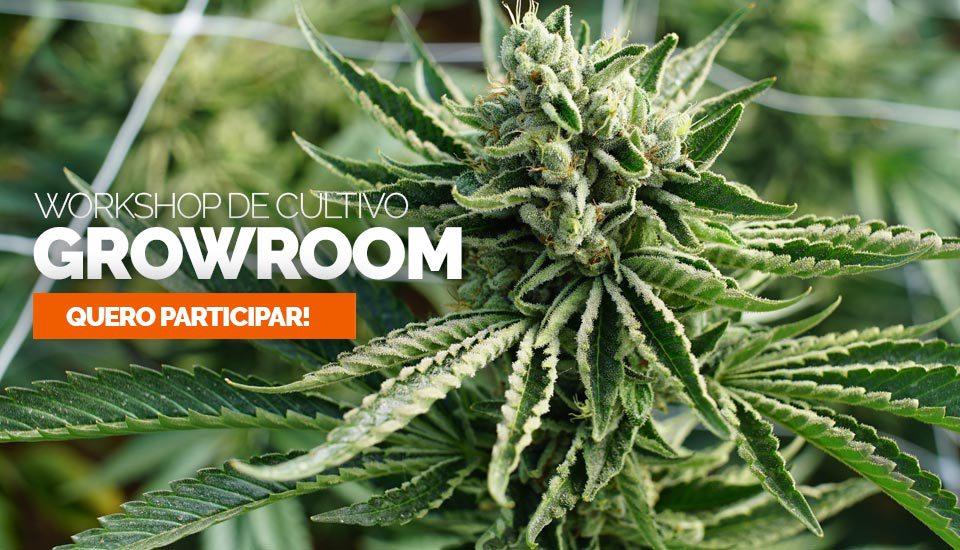 Growroom ministra workshop online e gratuito de cultivo de cannabis