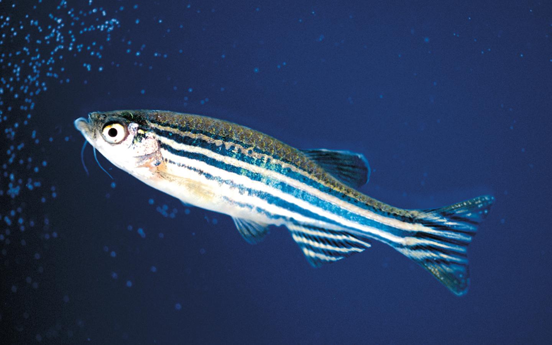 Pesquisadores avaliam toxicidade e teratogenicidade do CBD em larvas de Zebrafish
