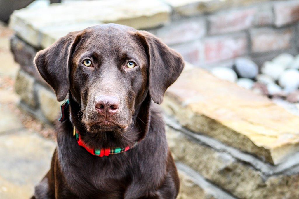 Canabidiol auxilia no tratamento da artrite em cães
