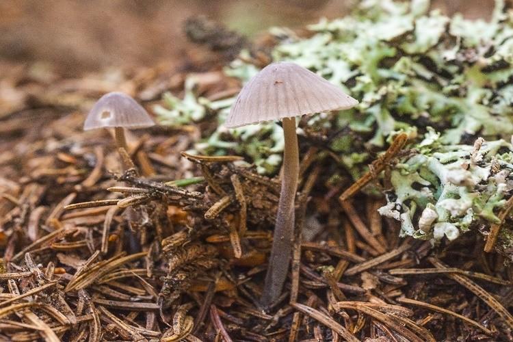 FDA aprova testes com cogumelos alucinógenos para tratamento da depressão