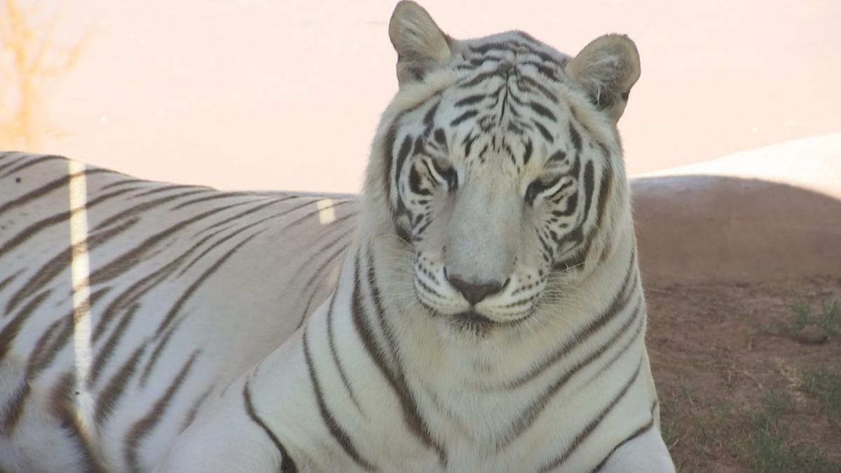 Animais exóticos são tratados com CBD em parque no Arizona